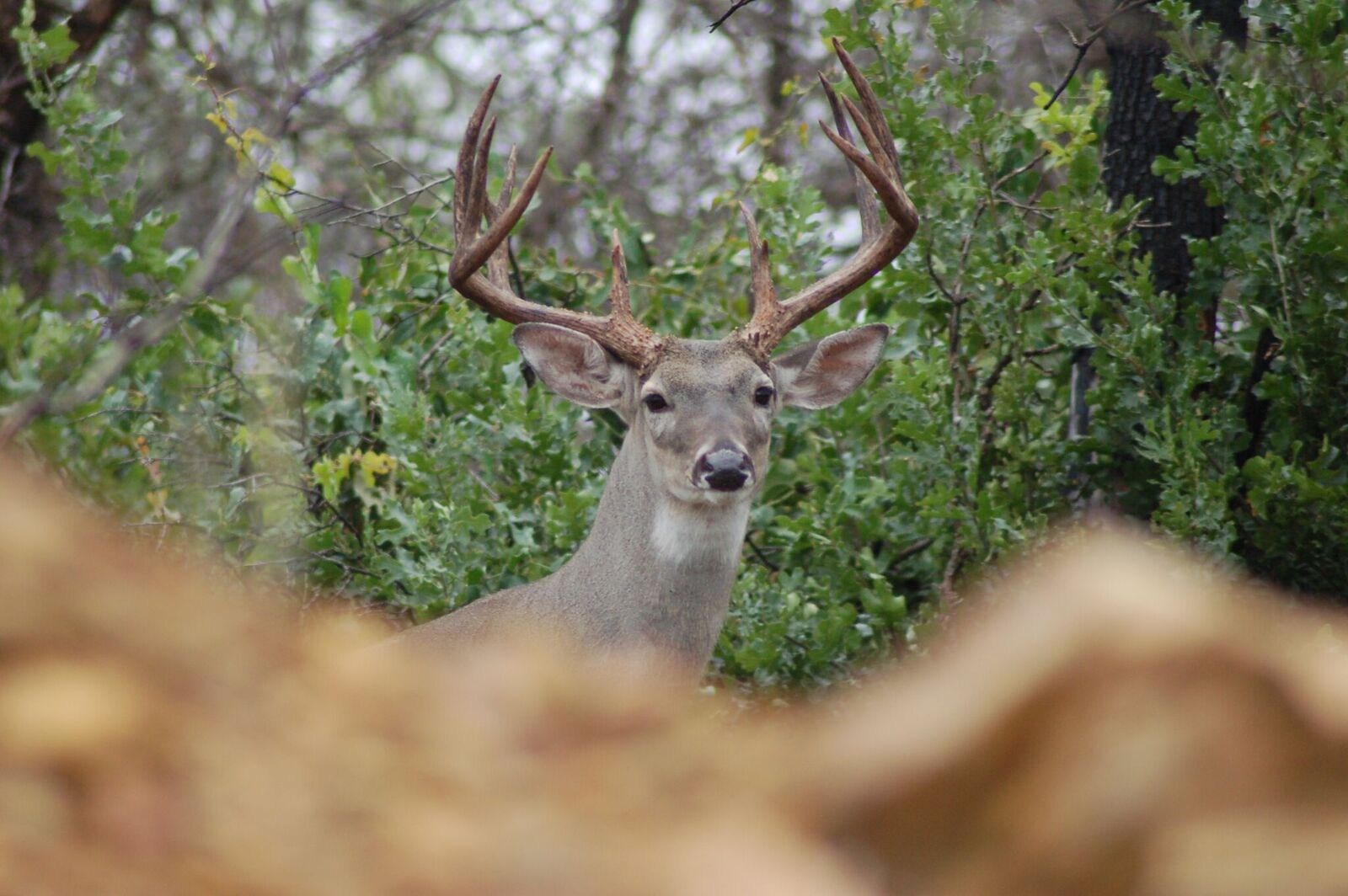 Bow hunters lose sleep about this time every year, anticipating a close encounter with a bruiser buck like this. Photo by Luke Clayton